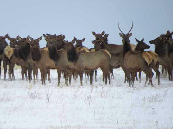 nature-a-elk-3