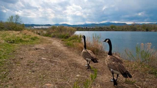 prospect park geese
