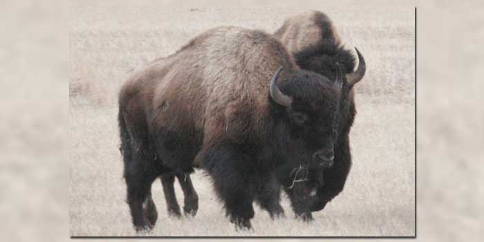 The Last Wild Buffalo Herd