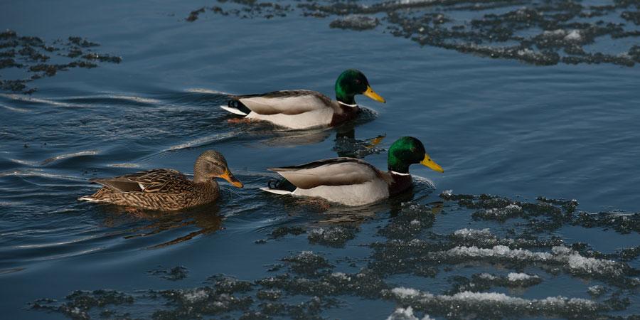 Winter Ducks