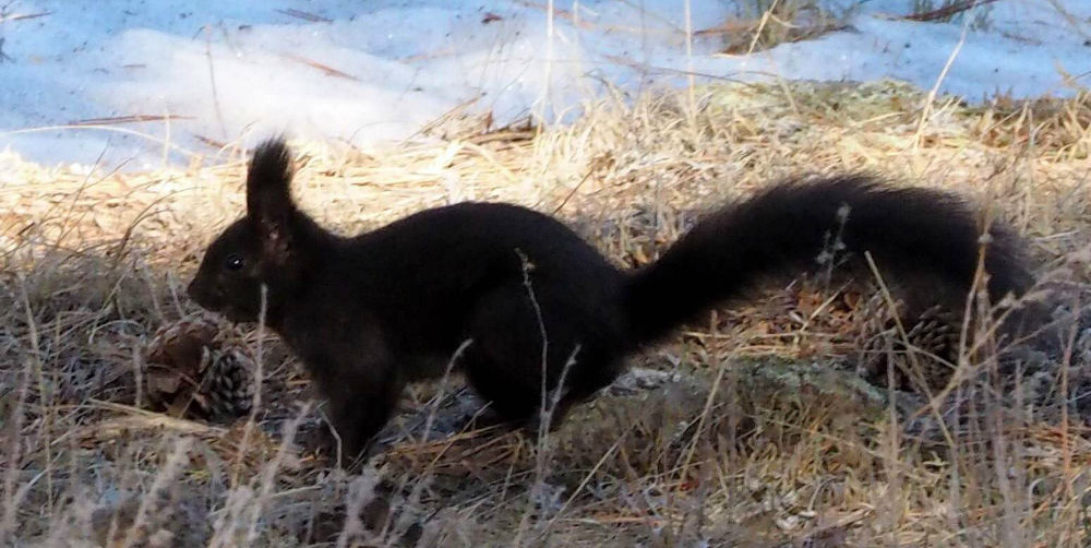 March Nature Almanac: Tassel Eared Abert's Squirrels at Betasso Reservoir