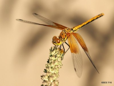 Band-winged Meadowhawk, img courtesy of Scoot E. Severs