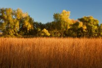 cottonwoods-and-tallgrass-october