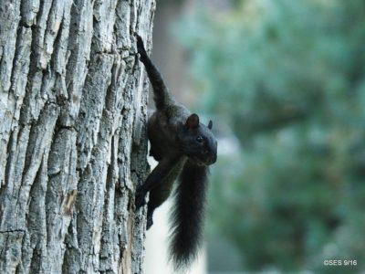 fox squirrel (Sciurus niger), An adult and a pair of juvenile melanistic fox squirrels. Thompson Park - Longmont