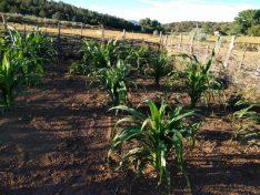 dry farming corn