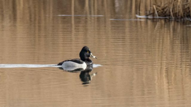 a Ring-necked Duck