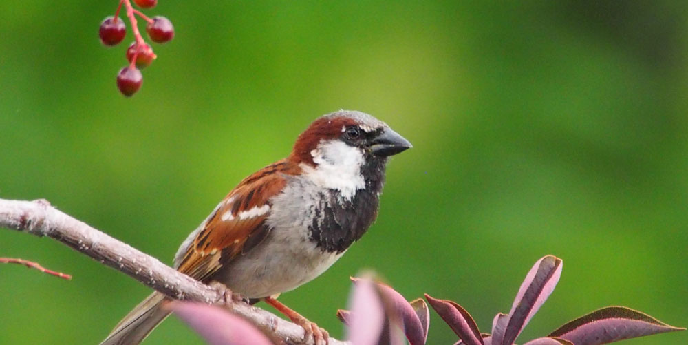 House Sparrow - Scott E Severs