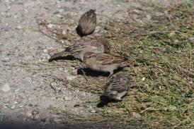House Sparrows - Scott E. Severs