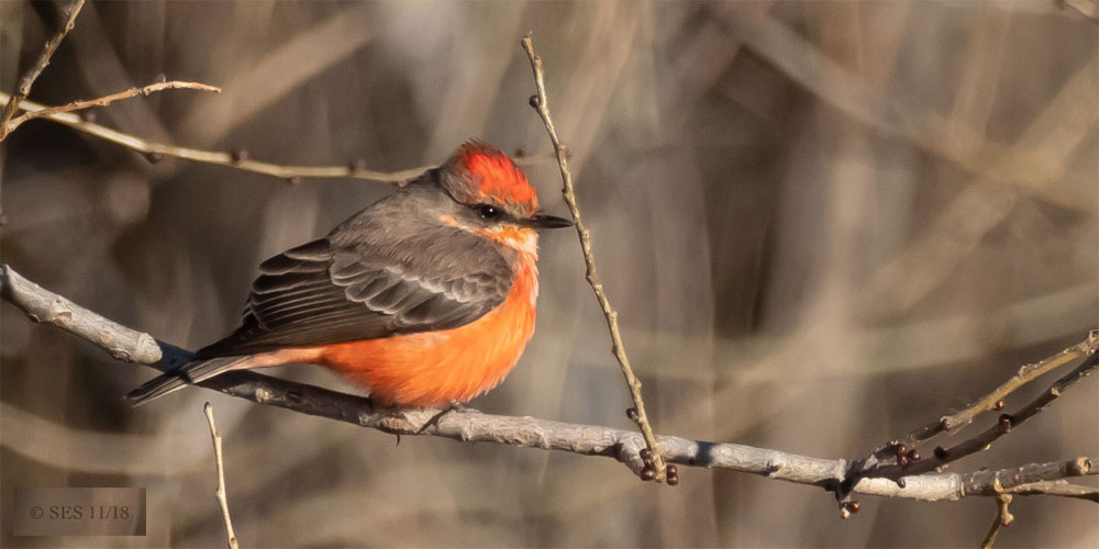 December Nature Almanac - A Vermilion Flycatcher stays the season