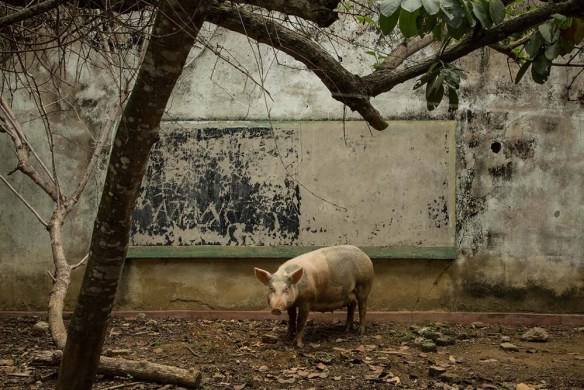 Concrete wall behind large pig. A leafless tree is nearby.