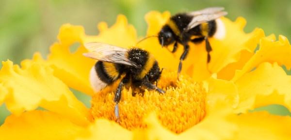Ученые объяснили, почему пчелы могут считать объекты ...