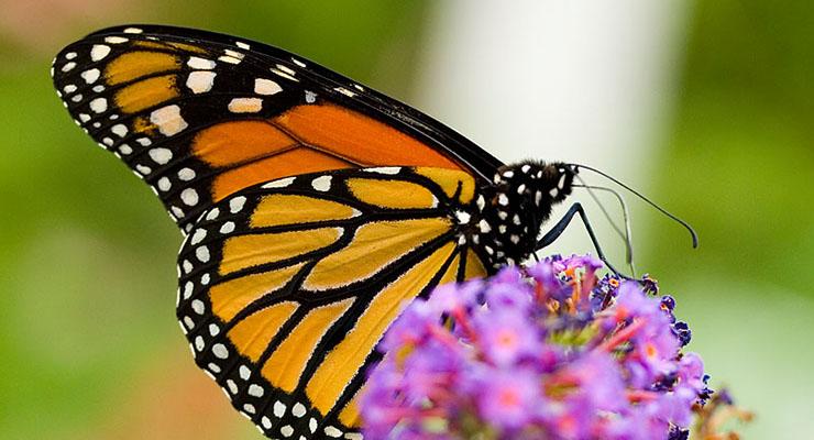 Butterfly[FI]