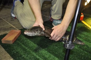 Photo of northern snakehead being observed for its movement on land