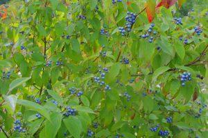 Photo of purple berries