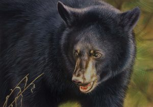 """Illustration of black bear, """"Explorer"""" by Rebecca Latham of Hastings, Minn., winner of the 23rd Annual Maryland Black Bear Conservation Stamp Design Contest"""