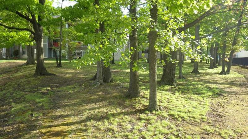 Photo of native poverty oatgrass lawn