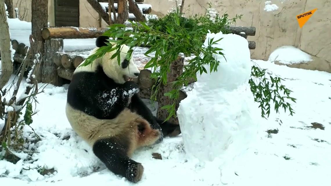 Kung Fu panda «εξολοθρεύει» χιονάνθρωπο και τρώει τη καροτένια «μύτη» του