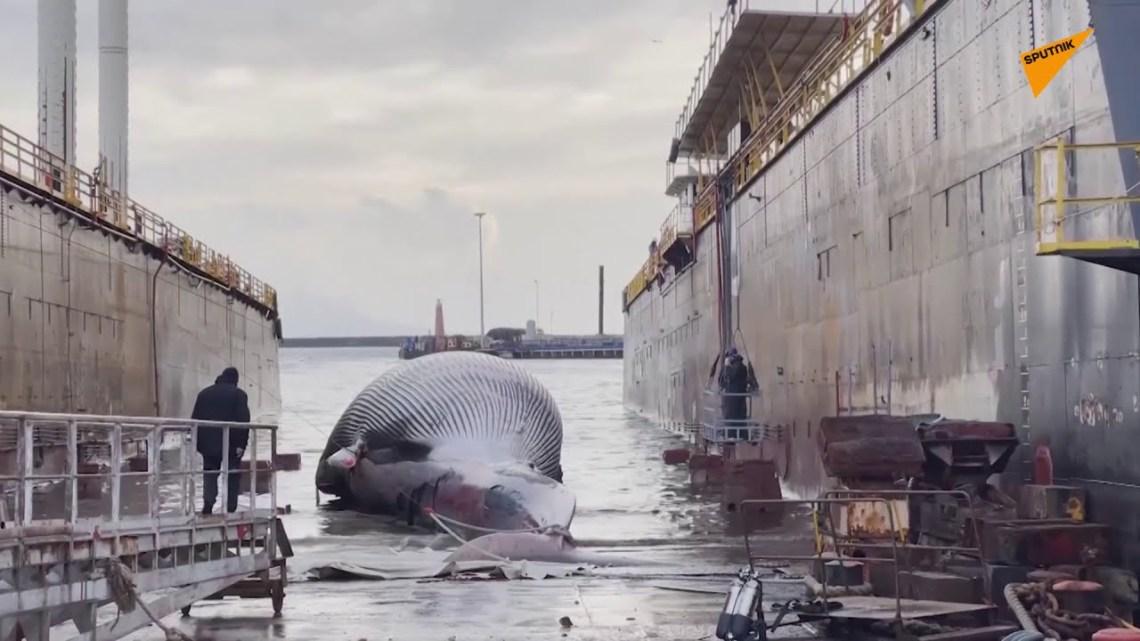 Φαλαινάκι οδήγησε τις αρχές στη νεκρή μαμά του: Σε αποβάθρα της Νάπολης το το 70 τόνων κουφάρι