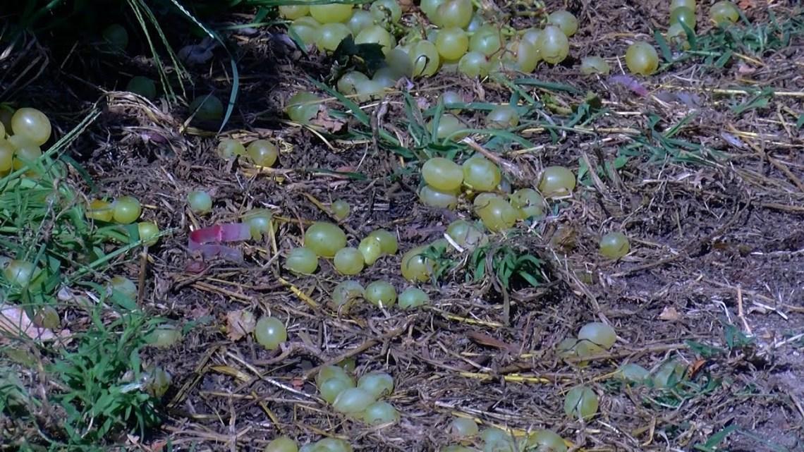 Μεγάλες καταστροφές σε καλλιέργειες στον Δήμο Παγγαίου
