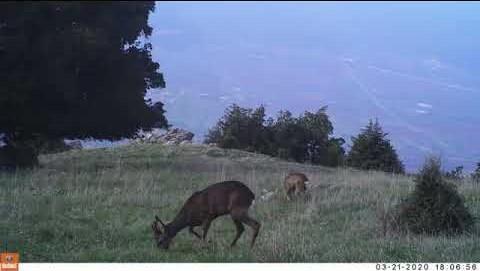 LamiaReport.gr: Πανέμορφο ζαρκάδι στο βουνό της Οίτης