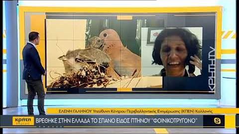 Βρέθηκε στην Ελλάδα το σπάνιο είδος πτηνού «φοινικοτρύγονο»
