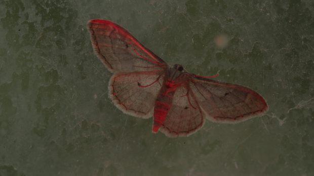Red moth on dark green background.