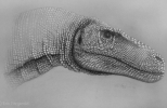 "Sketch of juvenile T. rex ""Jane"". Photo courtesy of Erin Fitzgerald."