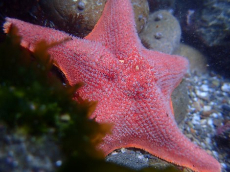 The famous predator - a sea star stretched out against intertidal rocks. (Rebecca Fanning/MEDILL)
