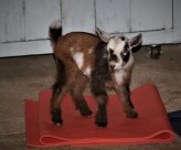 This baby goat wanted to try out yoga, so she hoped on a mat and struck a pose. (Stephanie Fox/Medill)