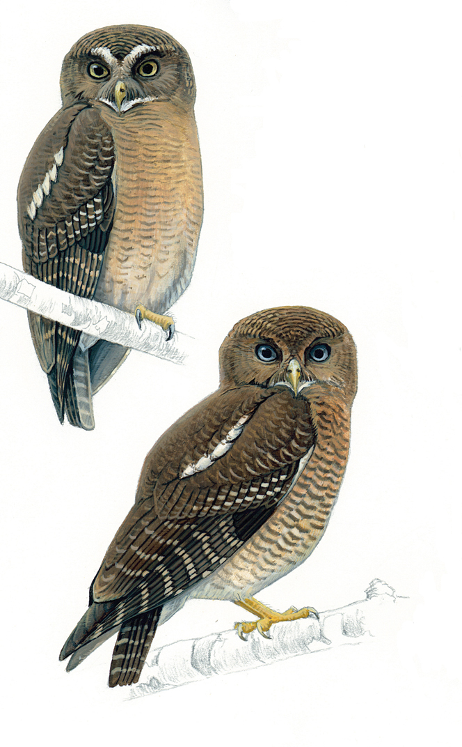 The two new Filipino owl species