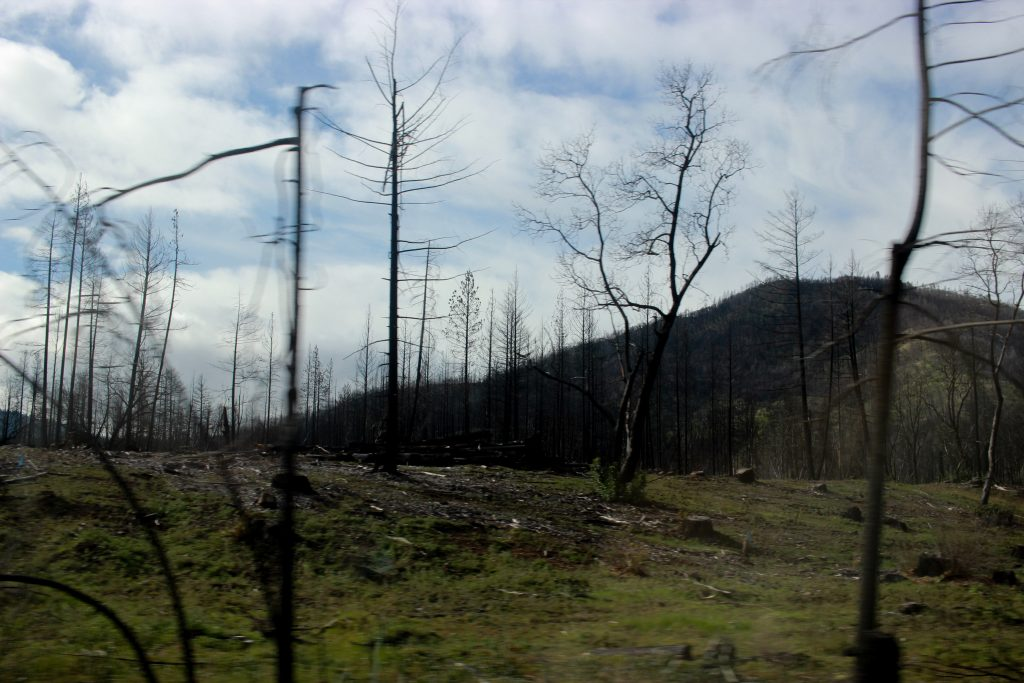 Some trees damaged by the fires in Lake County