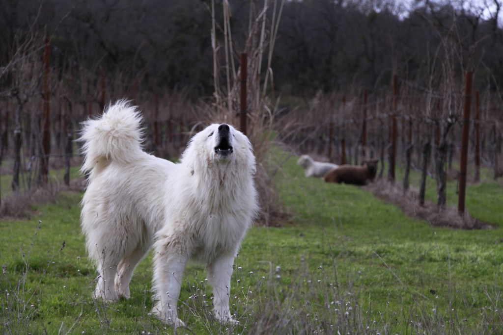 great pyrenees sheep dog