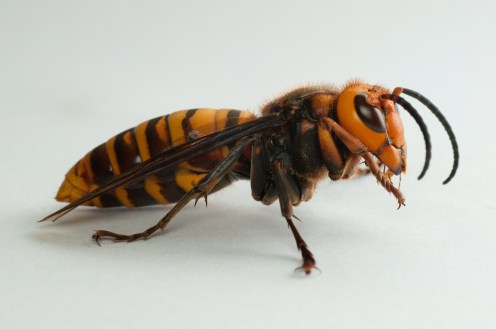 How to spot a 'murder hornet'   News And Information   Oklahoma State  University