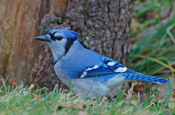"SHAMANIC SERIES Learning from animals Haiku Poems: ""Blue Jay"" (""Arrendajo azul"") – bodyandsoulnourishmentblog"