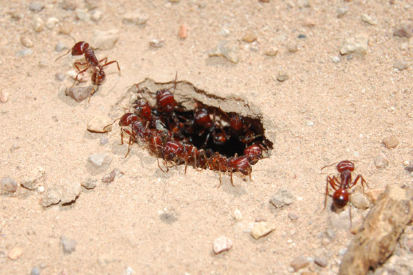 Harvester ant foragers waiting inside the nest