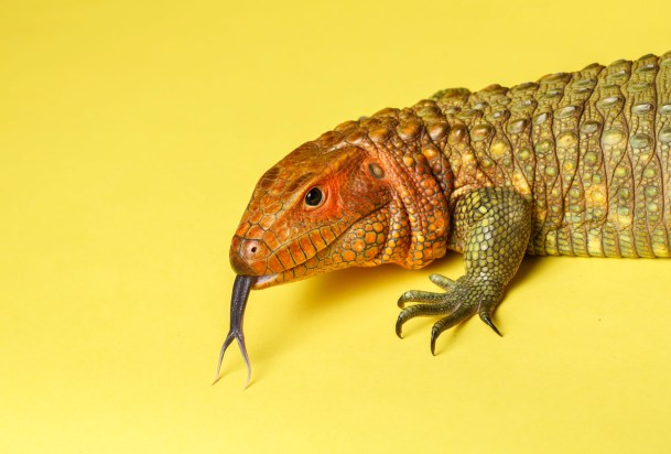 This Caimen Lizard was photographed for a St. Thomas magazine story.