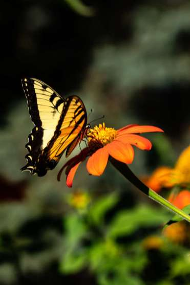A butterfly lands on one of the native flowers that make up the University's Pollinator Path. Mark Brown/University of St. Thomas