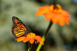 A monarch butterfly on a flower in the Pollinator Path. Mark Brown/University of St. Thomas