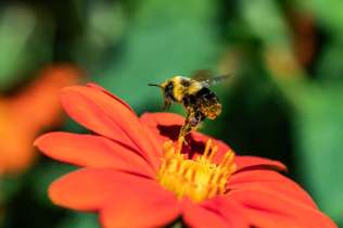 A bee gathers pollen from a flower in the Stewardship Garden. Mark Brown/University of St. Thomas