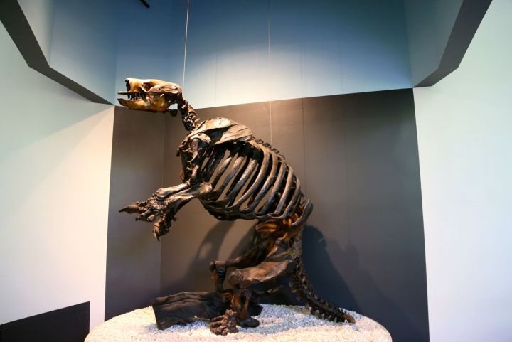 Display of the assembled fossilized bones of the ground sloth.