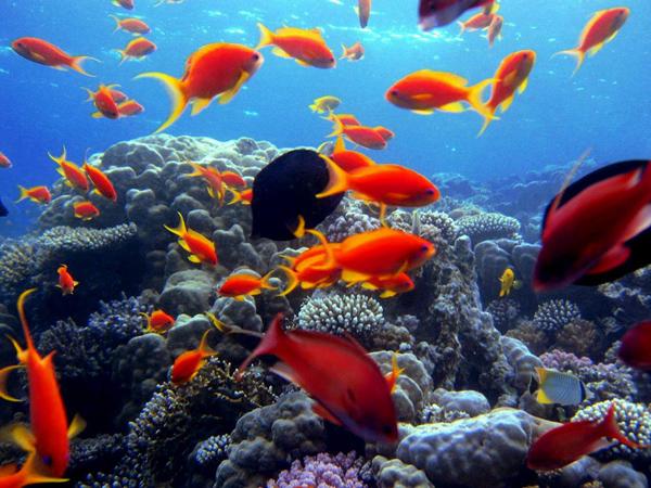 أسماك وشعاب مرجانية متعددة الألوان في أعماق البحر الأحمر (مصر)