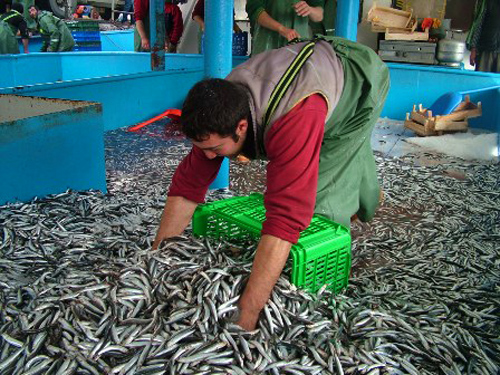 سمك الأنشوفة الذي تشتهر به طرابزون
