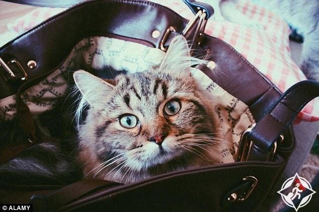 قط في حقيبة يد