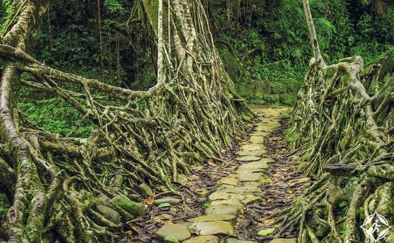 جسور الجذر الحية من تشيرابونجي