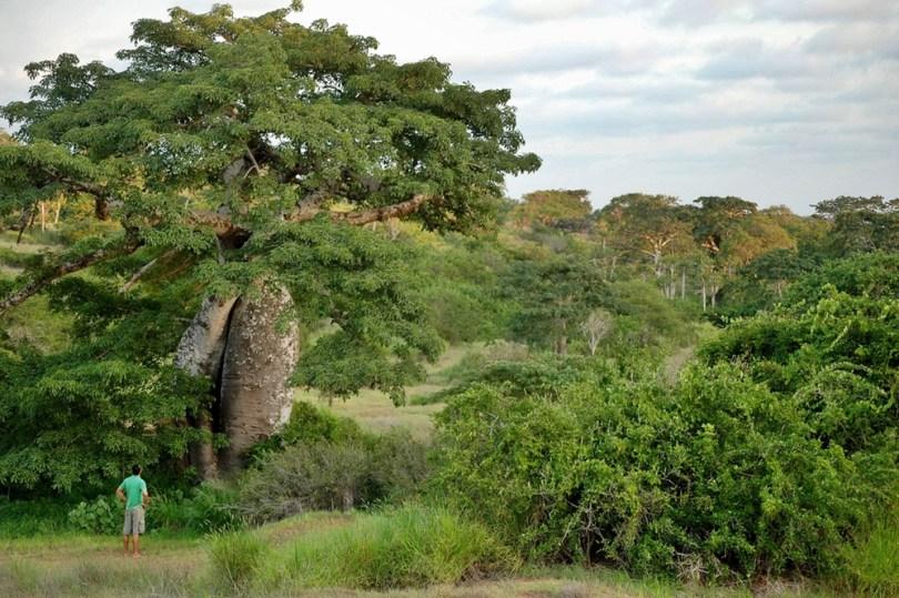 أنغولا - غابة مايومبي