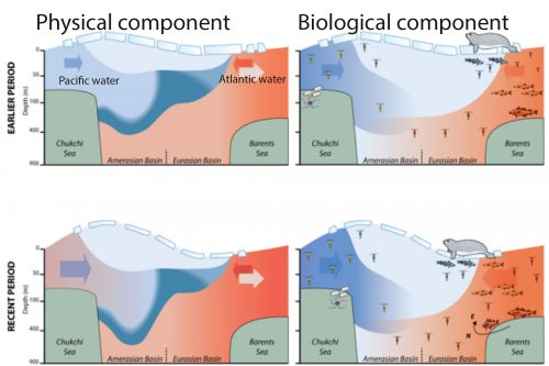 <i>Graphic adapted from Frontiers in Marine Science paper</i><br />This conceptual model shows the influx of Pacific and Atlantic water into the Arctic Ocean in the past compared to recent years. Blue indicates cool water and red indicates warm water. Arrows indicate the direction of water flow.