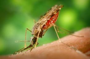 Anopheles mosquito which spreads malaria