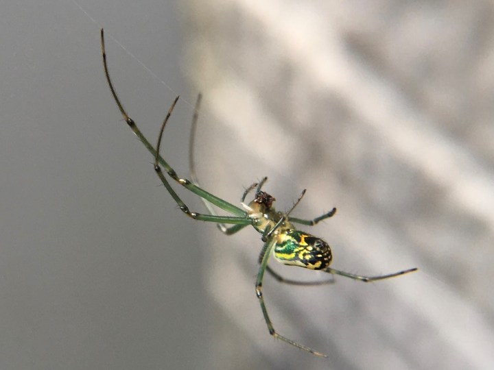 black and green spider