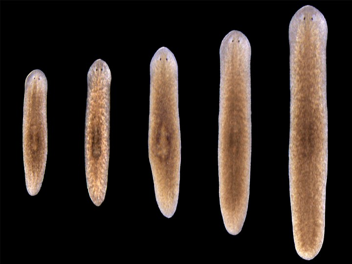 Five flatworms of all sizes lined up