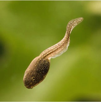 Stressed-out tadpoles grow larger tails to escape predators | University of Michigan News